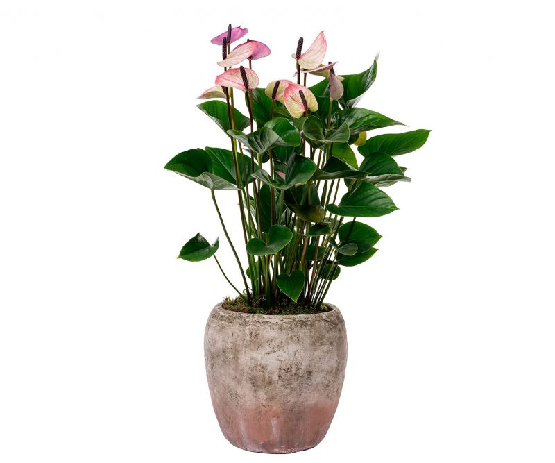 Plant Nº 01 Anthurium in ceramic pot - Florist in Madrid Margarita se llama mi amor