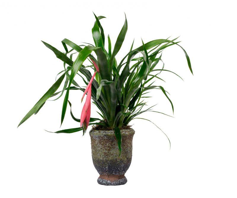 Planta Nº 02 Bilbergia en copa de cerámica - Floristería en Madrid Margarita se llama mi amor
