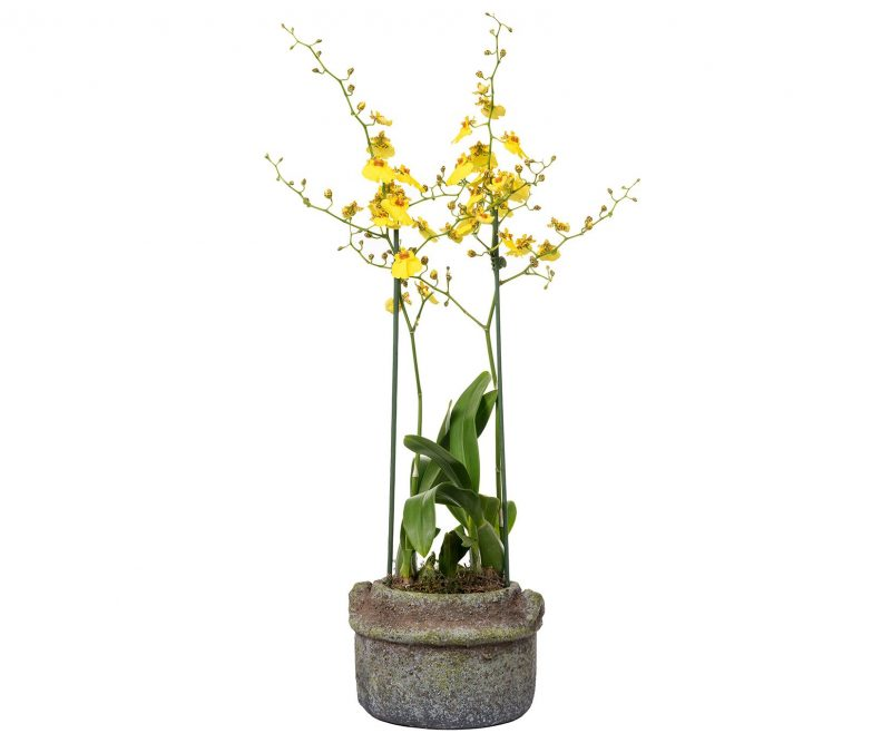 Planta Nº 03: Oncidium en Maceta de cerámica - Margarita Se Llama Mi Amor - Floristería en Madrid