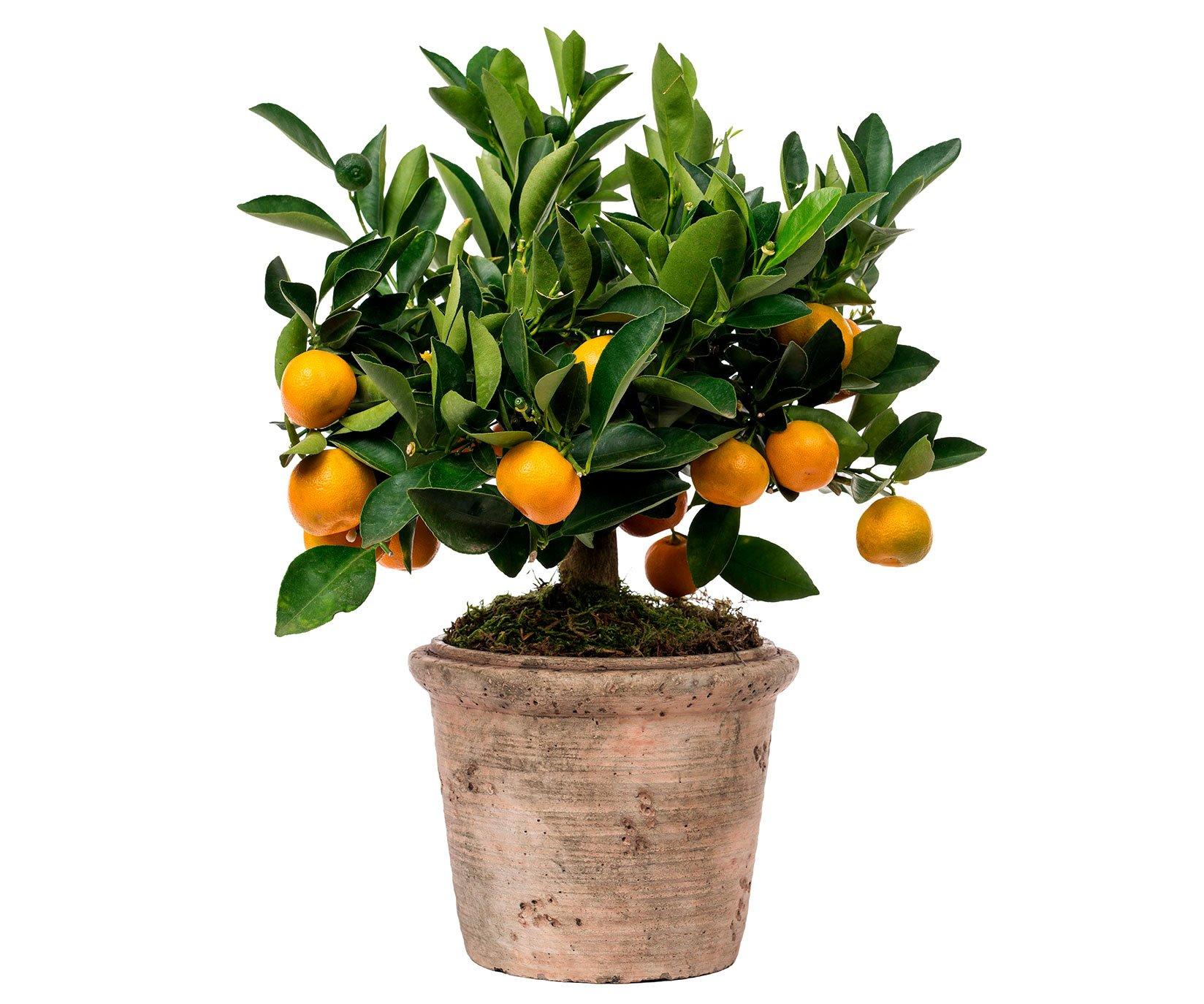 Calamond n en maceta de cer mica margarita se llama mi amor for Plantas en macetas