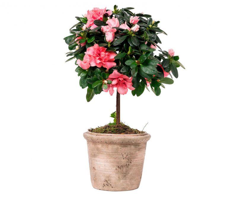 Plant Nº 05 Azalea in ceramic pot  - Florist in MadridMargarita se llama mi amor