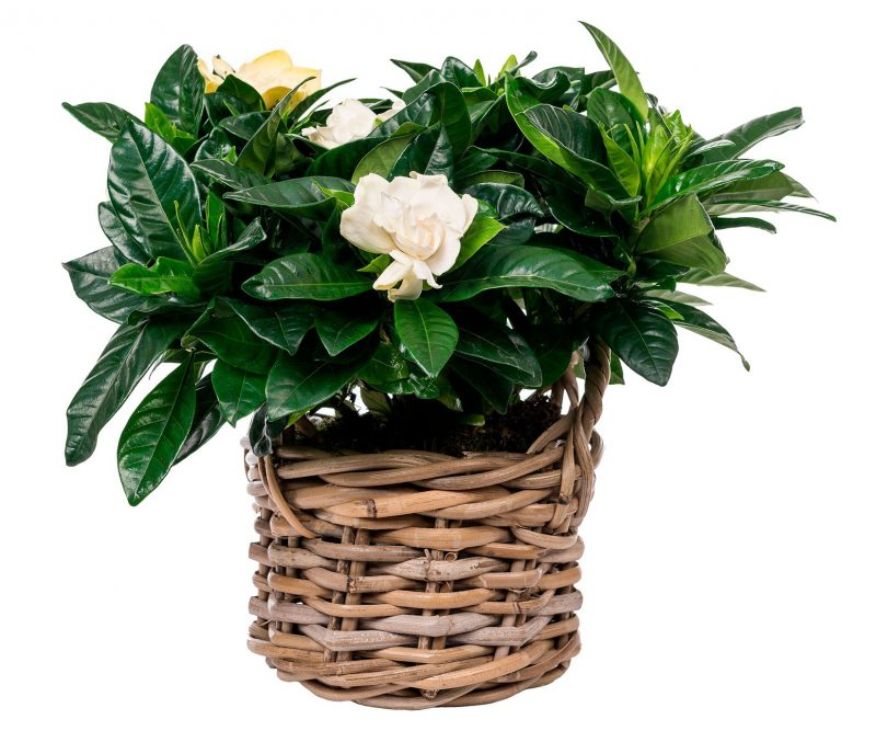 Plant Nº 08 Gardenia in wicker basket  - Florist in Madrid Margarita se llama mi amor
