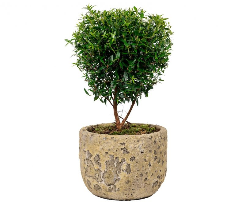 Planta Nº 09 Myrto de copa en maceta de cerámica