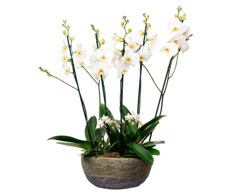 Plant Nº 13 White Orchid Mix in oval pot - Florist in Madrid Margarita se llama mi amor