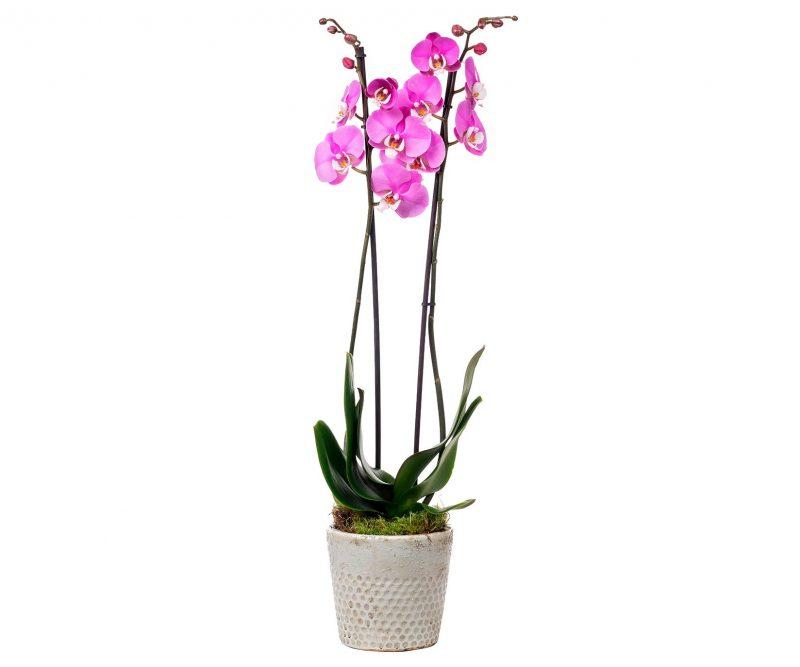 Planta Nº 19 Orquídea rosa en maceta de cerámica
