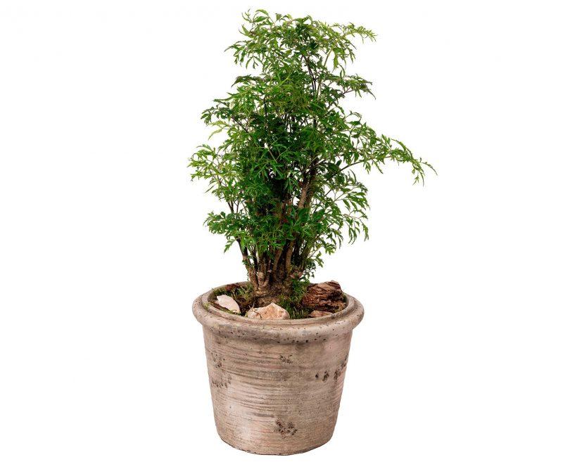 Plant Nº 21 Polyscia mix in ceramic pot - Margarita se llama mi amor