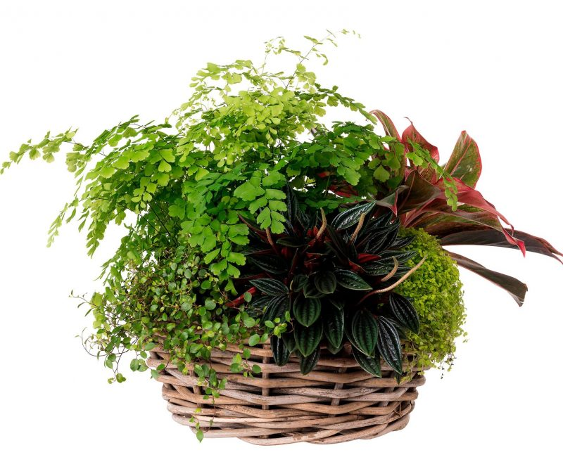 Plant Nº 23 Plants Mix in wicker basket   - Margarita se llama mi amor