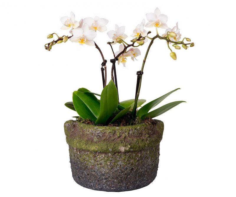 Plant Nº 24  - Margarita se llama mi amor