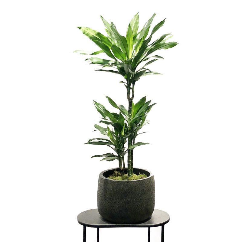 DRACAENA FRAGNS 1,2M