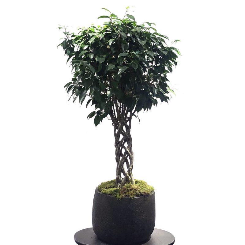 Ficus trenzado - Margarita se llama mi amor