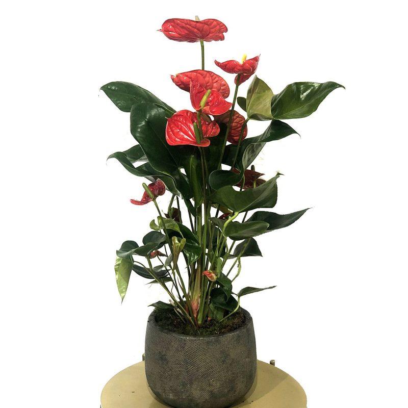 anthurium rojo 80cm con maceta